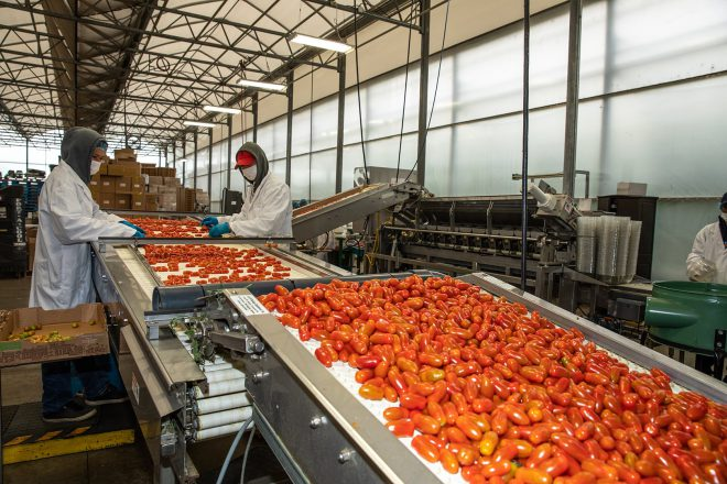 People sorting tomatoes on a conveyor